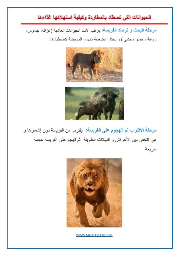 الحيوانات التي تصطاد بالمطاردة الأسد و الفهد نموذجا شريط صور مدرستي كوم_001