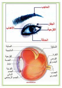 تركيبة العين مكونات العين و وظائف كل عضو موقع مدرستي كوم_003