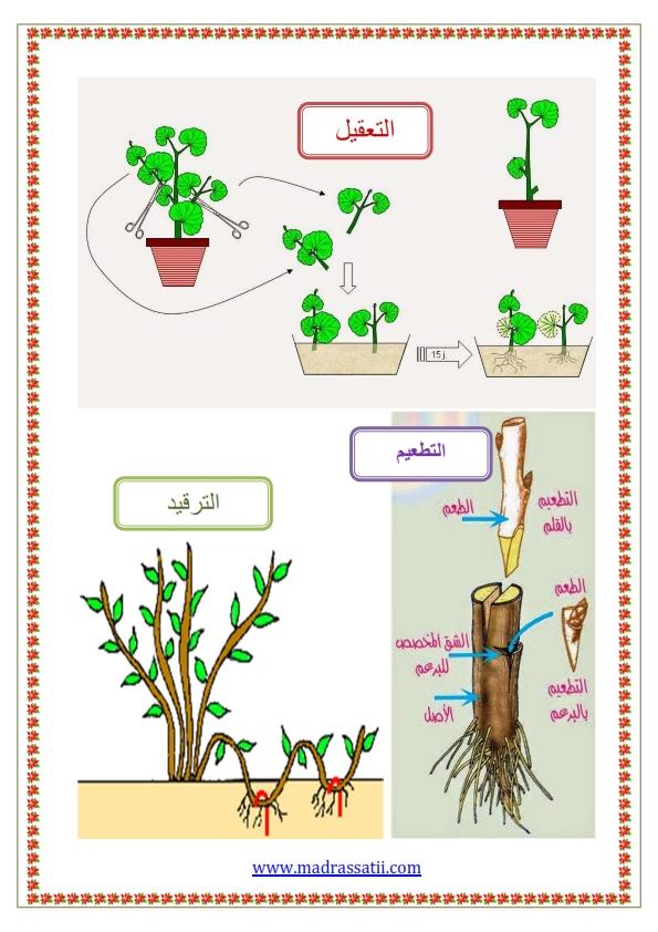 التكاثر عند النباتات التكاثر الخضري موقع مدرستي كوم_003
